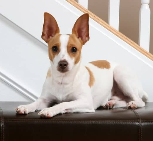 With their easy-going dispositions, Rat Terriers make great pets for families with children. They're also good pets for senior citizens.