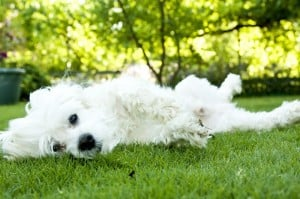 Chemicals used to keep your lawn lush and green pose a threat to your dog's kidneys and liver.