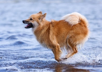 Dog runs along the beach. Vacationing with your dog near water can be fun as long as you practice good water safety.