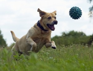 Control dog chasing by eliminating temptation and managing your dog's prey drive.