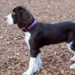 English springer spaniel with docked tail
