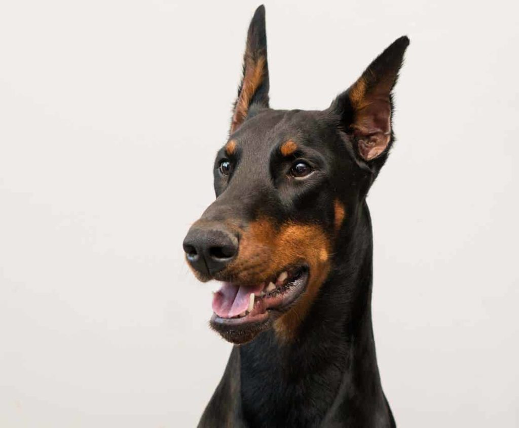 Doberman pinscher shows example of ear cropping
