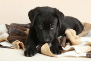 Black Labrador retriever puppy chews on carpet. Bored dogs can do bad things. Keep your dog busy to prevent naughty behavior.
