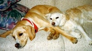 Two dogs, Browning and Finley snuggle on the couch.