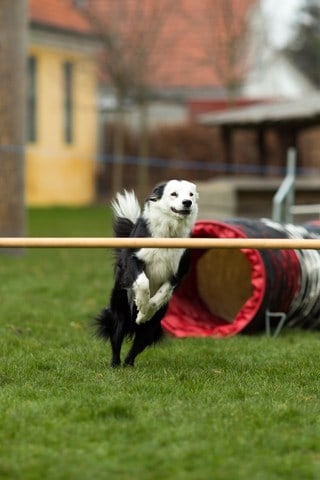 canine fitness agility is a great outdoor exercise for your dog