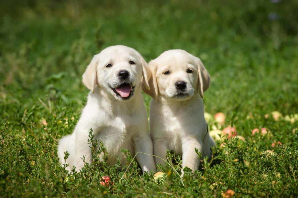 two dogs yellow labrador litter mates