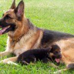 dog training german shepherd