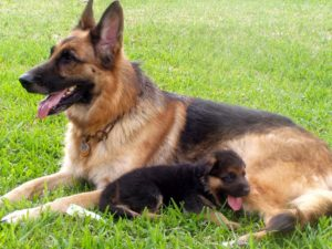dog training german shepherd