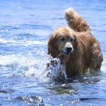 A dog's body was not designed to sweat. The only sweat glands they have are on their nose and the pads of their feet. They cool down and regulate their body temperature by air circulating through their fur and by panting.