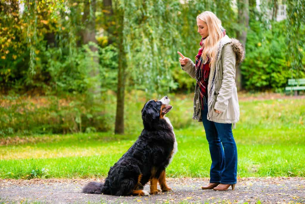 Dog training voice: Use both tone and volume to communicate when training your dog. Strong vocal commands are especially important when working with big dogs like this Bermese Mountain dog.
