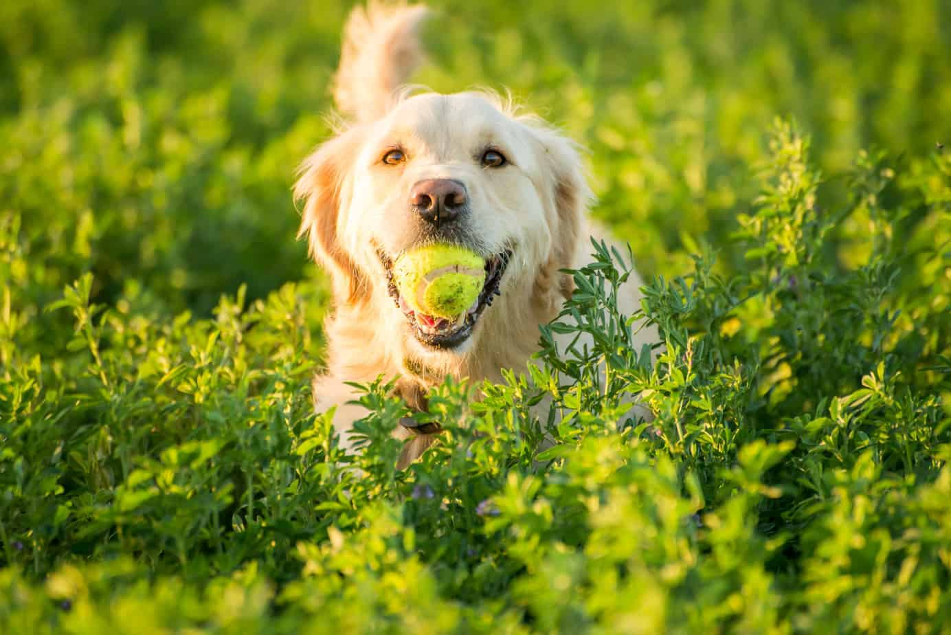 golden retriever with tennis ball in tall grass. Dogs eat grass when they are bored.