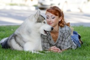 Siberian Husky cuddles with owner. The dog has high prey drive