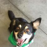 Sydney's an Australian shepherd-corgi mix with attitude to burn.