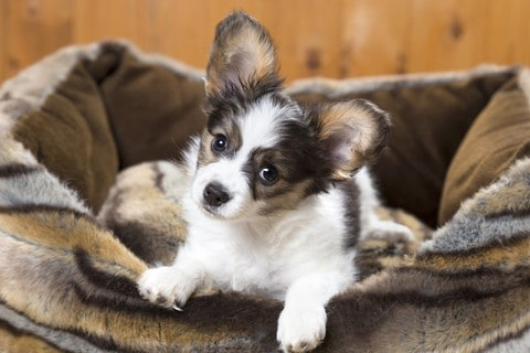 Curious Papillon puppy sits in a dog bed. The Papillon is one of the low maintenance dog breeds