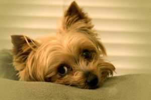 Small dogs like this sleepy Yorkie are prone to exhibiting Napoleon Complex is they aren't trained properly.