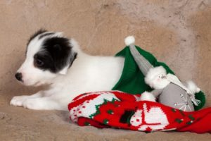 "puppy snuggles in christmas stocking. Don't give pet as a gift: No one should ever assume that they ""know best"" when it comes to picking a dog for another person."