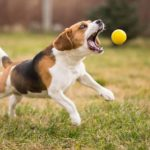 Dog training: Stop dog chasing