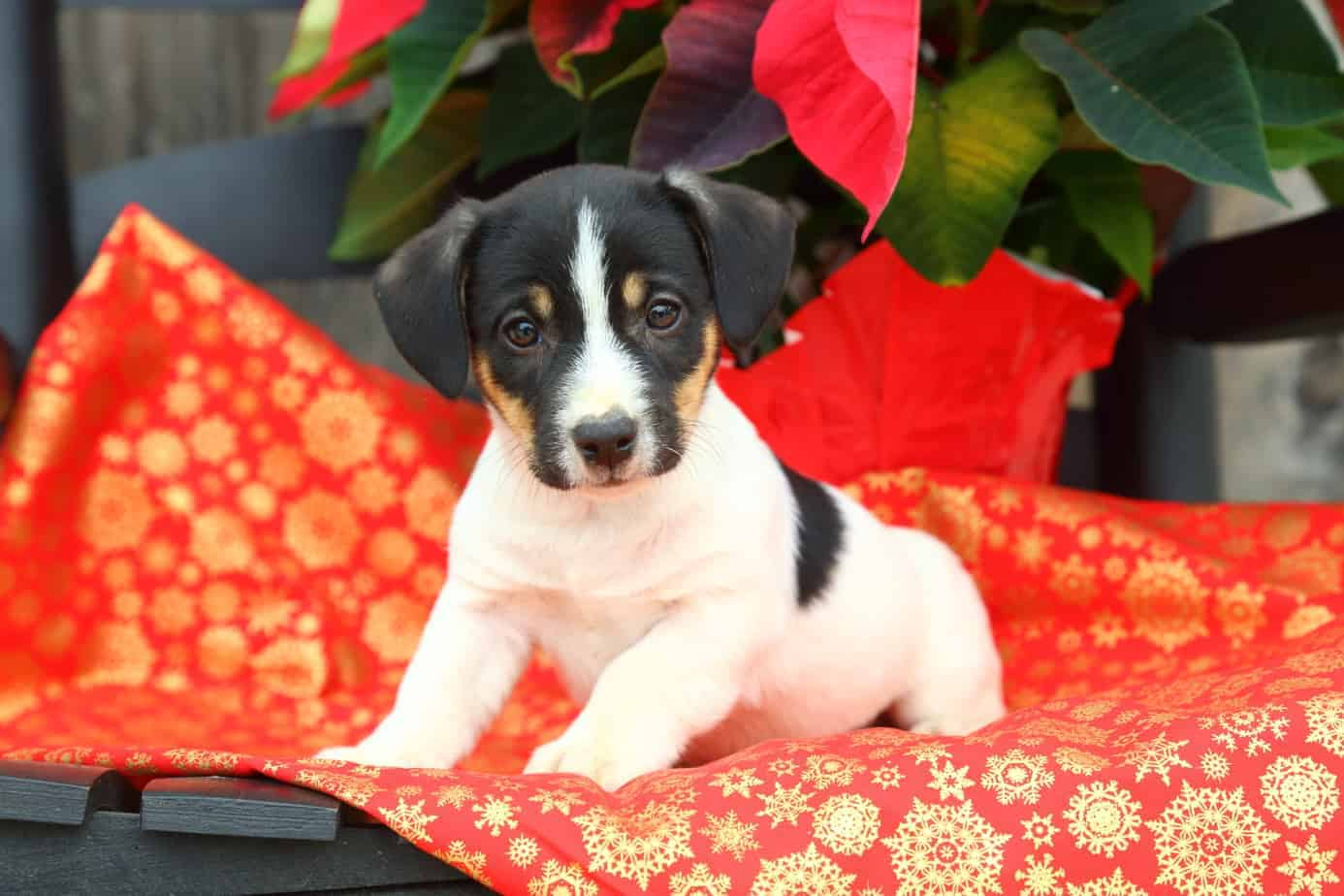 Decorate with dog-friendly plants and keep poinsettias out of reach.