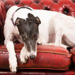 Despite what many people may think, greyhounds are actually low-energy dogs that make great pets.