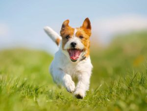 Happy Jack Russell terrier runs in field. Natural remedies like music, exercise, and mental stimulation can reduce dog anxiety.