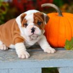 add pumpkin to your dog's diet