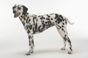 Dalmatian shows a trim waist. If you run your hands along your dog's sides and can't feel her ribs, it's time to put your overweight dog on a diet.