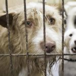 Sad shelter dog waits to be adopted. Adopting vs. buying a dog, choose the right option for you.
