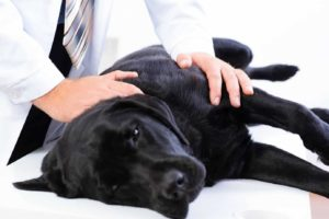Vet treats black Labrador retriever. Prescription medication danger: Keep all medications out of dog's reach. If you suspect your dog has consumed prescription medications, contact your vet.