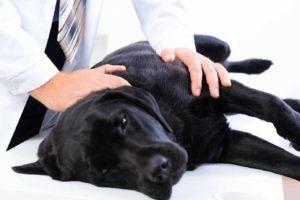 Vet treats black Labrador retriever. Prescription medication danger: Keep all medications out of dog's reach. If you suspect your dog has consumed prescription medications, contact your vet.