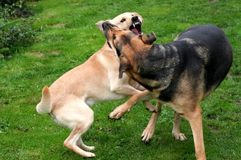 Two dogs fighting. Prevent dog fights by watching for situations that may trigger them. If you sense a dangerous situation, remove your dog immediately.