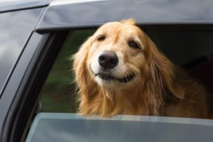 Smiling dog happy in car. Help your pup overcome dog car ride fears.