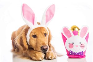 Sad golden retriever worries about Easter foods dangerous for dogs
