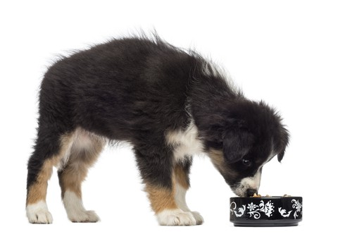 Vets Consider Dog Hiccups Growing Pains That Some Puppies Must Endure