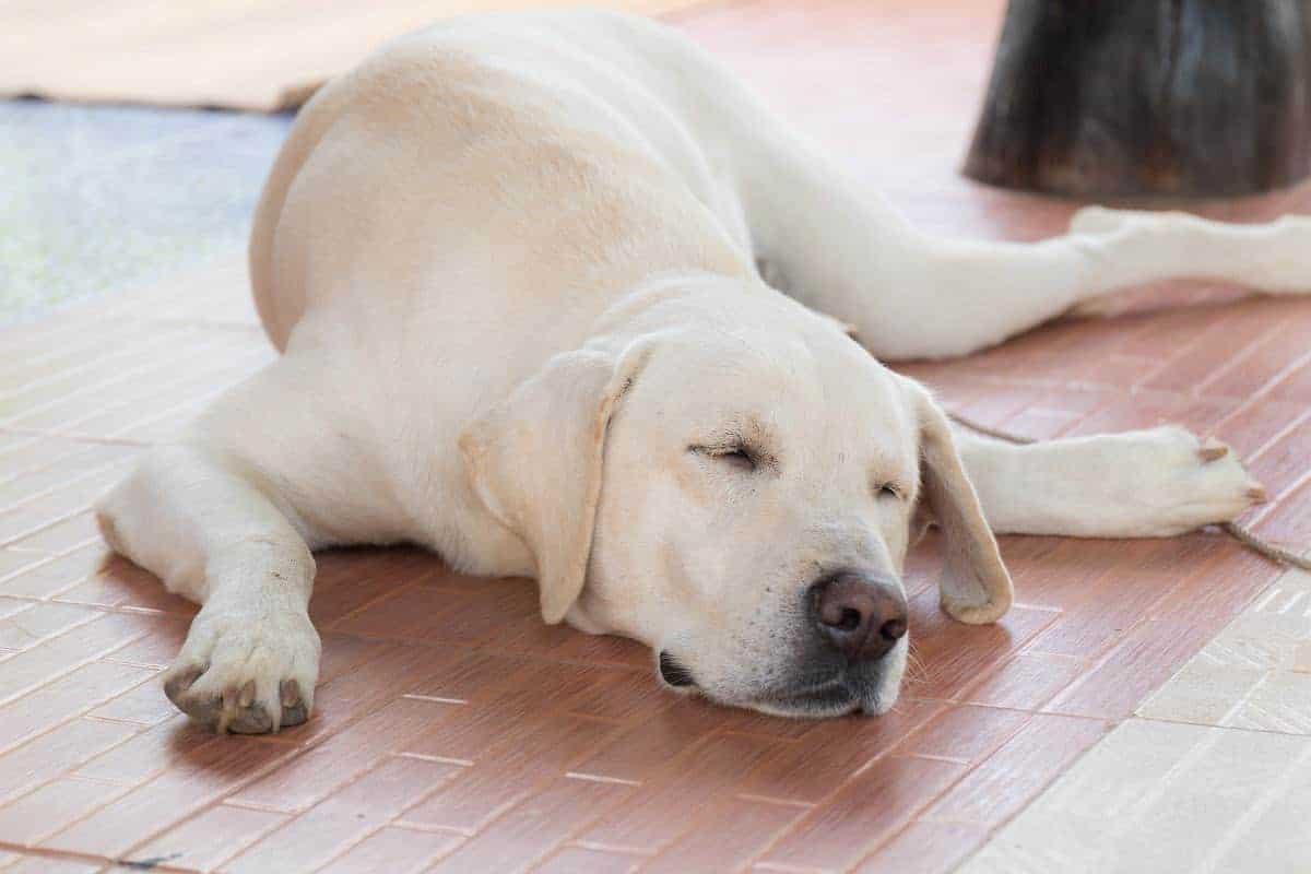canine arthritis