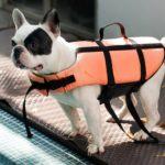 French bulldog wears life jacket.