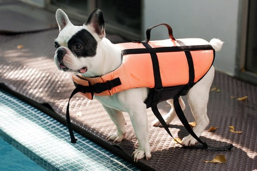 French bulldog wears life jacket.