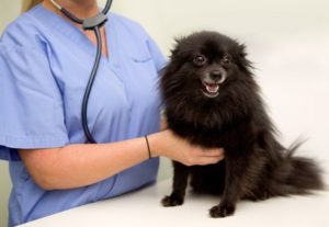 Female vet checks black dog for signs of health problems after dog experiences excessive thirst, which can indicate Cushing's disease.