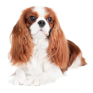 toy breeds cavalier king charles spaniel