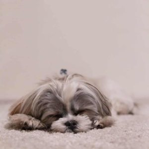 toy breed shih tzu