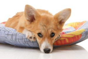 corgi snuggles on dog bed