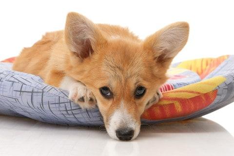 corgi snuggles on dog bed