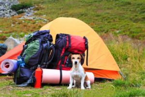 Dog sits outside tent with camping gear. Go camping with your dog.