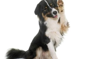Tricolor Australian shepherd in front of white background. Take steps to stop dog pawing.