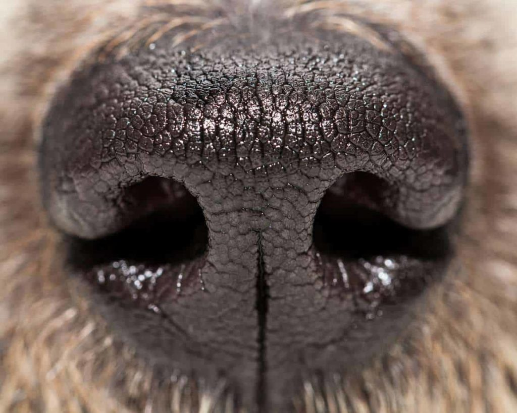Dog facts: Medical science is targeting the power of dog noses to detect cancer, diabetes and more.
