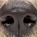 Medical science harnesses the power of dog noses