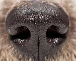 Medical science now harnesses the power of dog noses to detect cancers and other diseases.