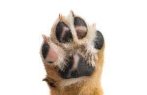 dog pawing