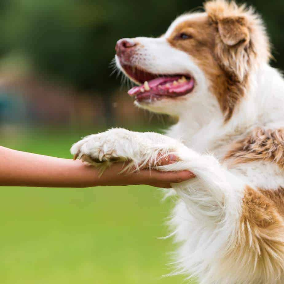 Australian shepherd shakes hand with owner. Use patience, education and positive reinforcement to make sure your pup has good dog manners. Don't allow jumping, begging or mouthiness.