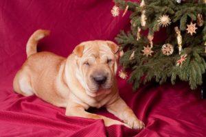 dog Christmas danger