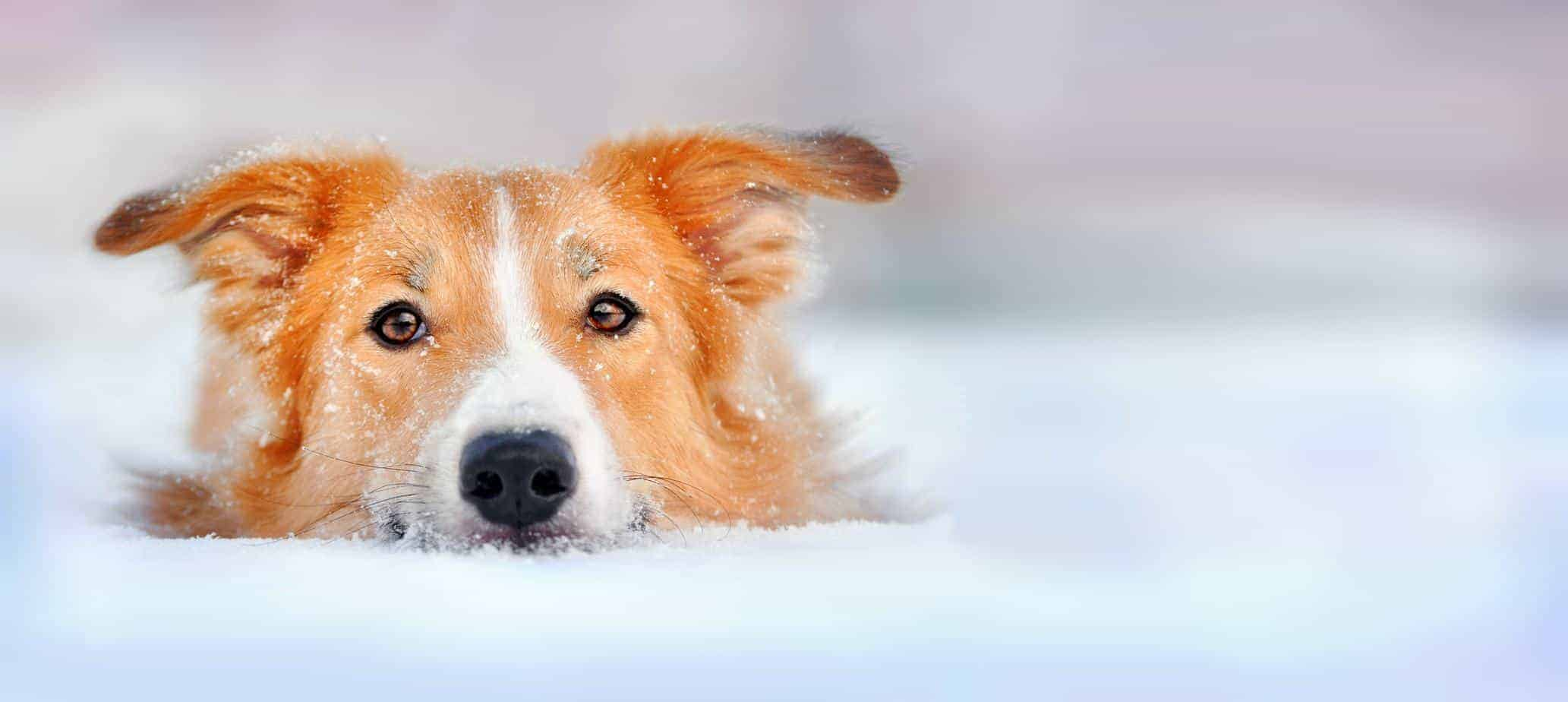 dog cold weather dangers include hypothermia, dry skin and cracked paws